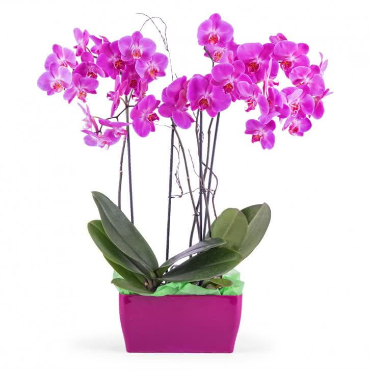 Merlot, Arranjo de Orquídeas Phalaenopsis