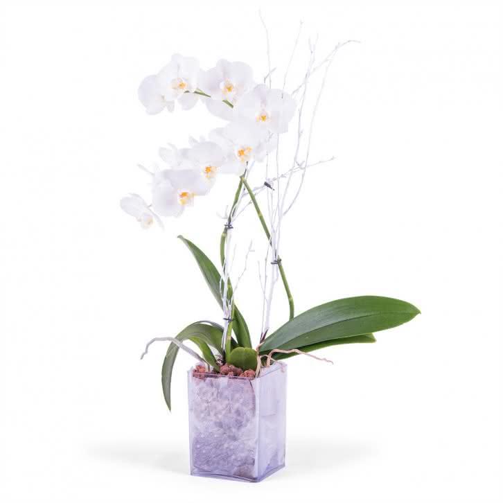Lorena, Planta de Phalaenopsis Branca