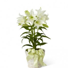 Easter Lily, Easter Lily