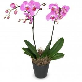 Deep pink Orchid (Phalaenopsis), Deep pink Orchid (Phalaenopsis)