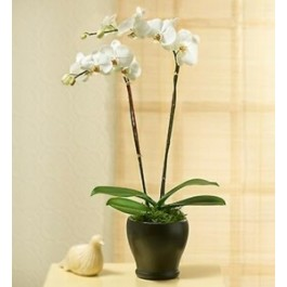 PHALEONOPSIS ORCHID PLANT IN POT WITH TWO STEMS, PHALEONOPSIS ORCHID PLANT IN POT WITH TWO STEMS