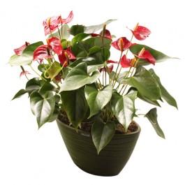 FLAMINGO PLANT, FLAMINGO PLANT