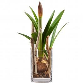 Amaryllis en vase, Amaryllis en vase