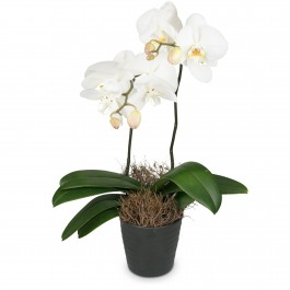 White Orchid (Phalaenopsis) in cachepot, White Orchid (Phalaenopsis) in cachepot