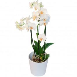Orchid plant + a protective pot, Orchid plant + a protective pot