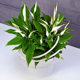 Spathiphyllum, Spathiphyllum