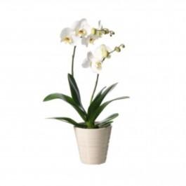 Orchidea Phalenopsis, Orchidea Phalenopsis