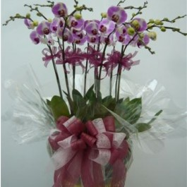 12 Stems Orchid Plant, 12 Stems Orchid Plant