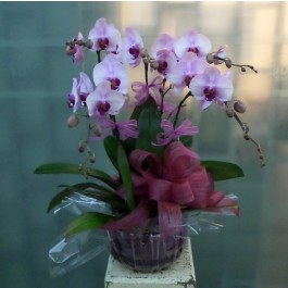 5 Stems Orchid Plant, 5 Stems Orchid Plant