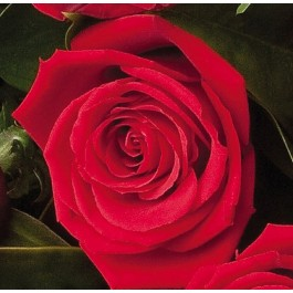 12 Red Roses, 12 Red Roses
