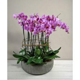 Phalaenopsis rosa, Phalaenopsis rosa