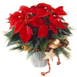 Estrella de Navidad (Poinsettia), Estrella de Navidad (Poinsettia)