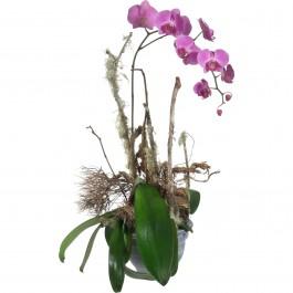 Une précieuse orchidée (en pot), Une précieuse orchidée (en pot)
