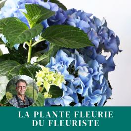 Plante du fleuriste, Plante du fleuriste
