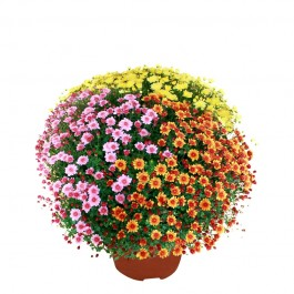 chrysanthemes en pot, multicolores, chrysanthemes en pot, multicolores