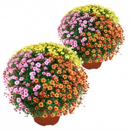Duo de chrysanthemes multicolores, Duo de chrysanthemes multicolores