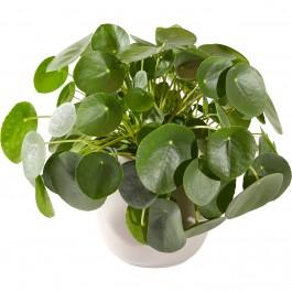 Plant: Pancake plant including pot, Plant: Pancake plant including pot