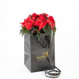 Red Poinsettia, Red Poinsettia