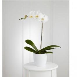 Orquídea Blanca, Orquídea Blanca