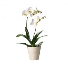 Phalanopsis in pot, Phalanopsis in pot