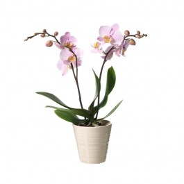 Phalaenopsis, Phalaenopsis