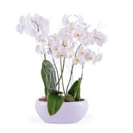 Alsácia, Centro de Plantas de Phalaenopsis Brancas