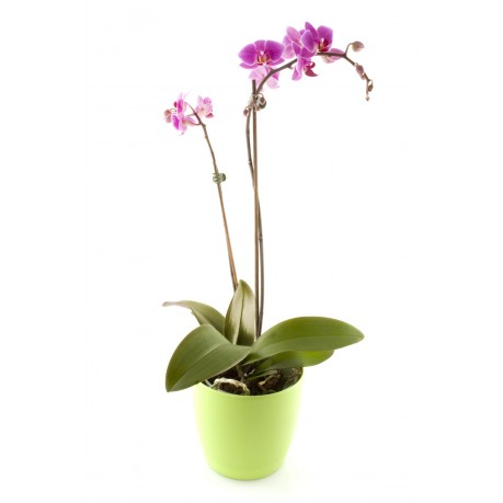 Orchid, Orchid