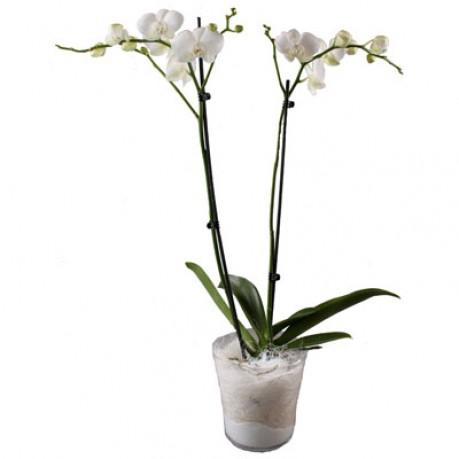 Orchidplant, Orchidplant
