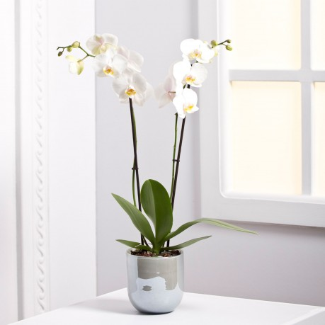 Orchid Plant, Orchid Plant