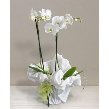 Orchidea bianca, Orchidea bianca