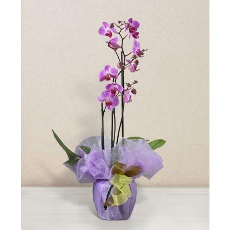 Orchidea rosa, Orchidea rosa