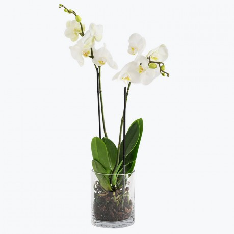 White orchid, White orchid