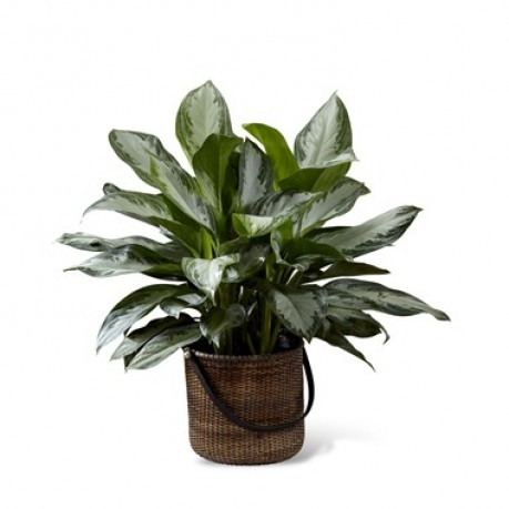 Chinese Evergreen, Chinese Evergreen