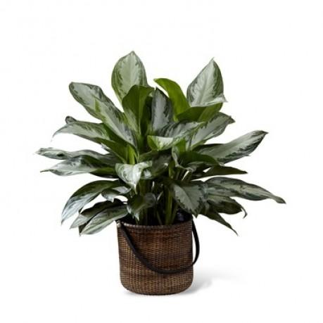 Chinese Evergreen, Chinese Evergreen