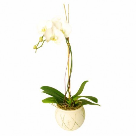 Orchid In Ceremic Vase (Subject to availability), Orchid In Ceremic Vase (Subject to availability)