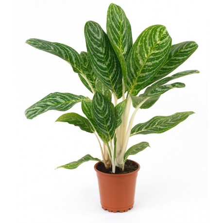Planta, Planta