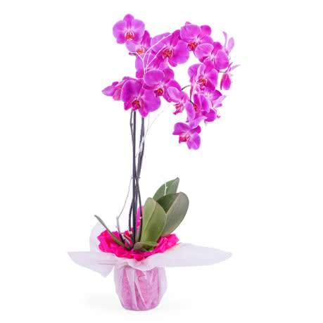 Índico, Planta de Orquídea