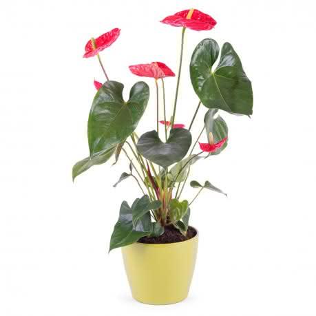 Anthurium, Planta de Anthurium