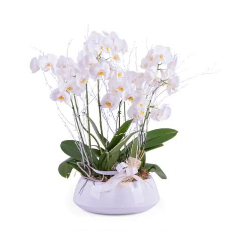 Recife, Centro de Plantas de Phalaenopsis Brancas