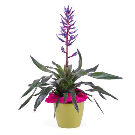 Bromélia, Planta de Viriesia (Bromélia)
