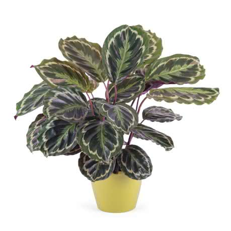 Calathea, Planta de Calathea