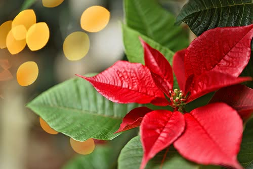 Conselhos para desfrutar da sua Poinsettia durante todo o Natal