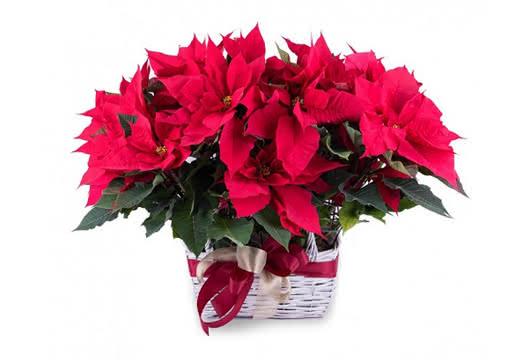 A flor de Natal, de origem mexicana, que dá cor ao Natal