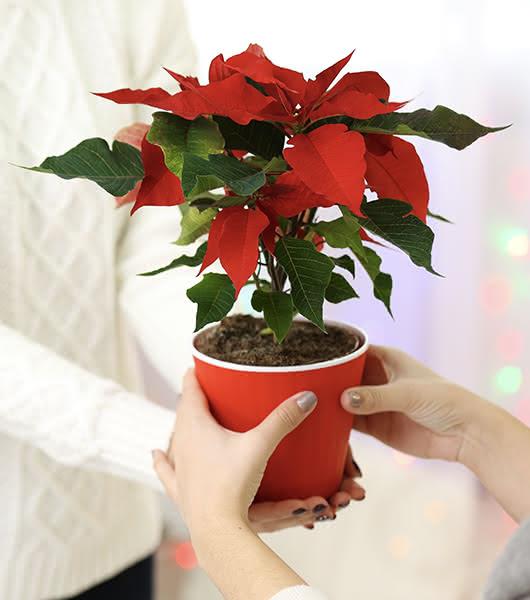 Poinsettias ao domicílio como presente da empresa