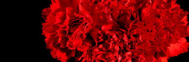 Flores e cravos para o Dia da Liberdade