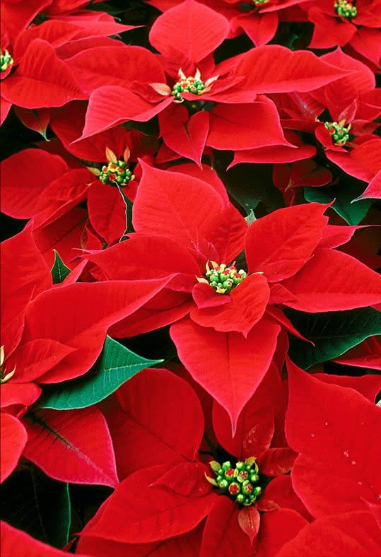 Flores e plantas para oferecer este Natal