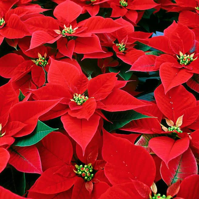 Decore a sua casa para o Natal com a Interflora.