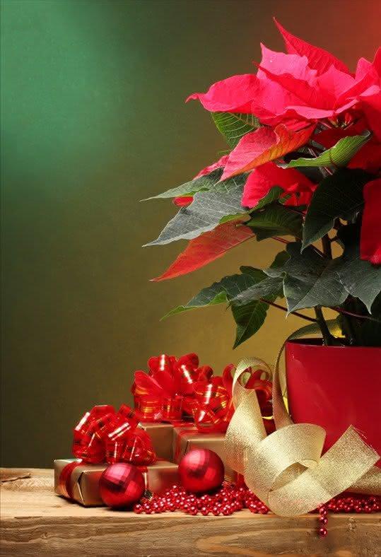 Oferecer flores e planta de Natal