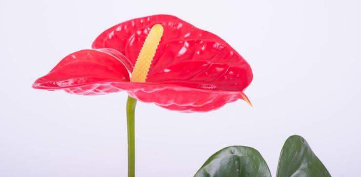 Enviar planta Anthurium ao domicílio