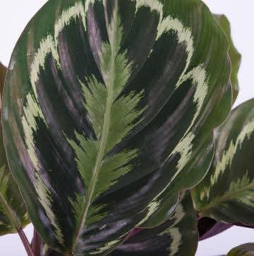 Plantas Calathea